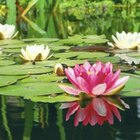 Water lilies will grow and bloom with as little as three hours of direct sun each day.