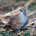 What Does a Partridge Eat?