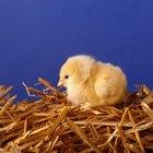 Cómo ayudar a incubar un huevo de pollo