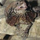 Características de los lagartos de collar