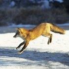 Como fazer uma armadilha para raposas?