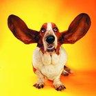 Meu cão tem caroços brancos na orelha