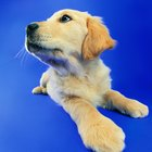 How to Care for Newborn Yellow Lab Puppies