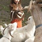 Remédio caseiro para diarreia em filhotes de cabras recém-nascidos