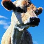 El comportamiento de las vacas cuando están por parir
