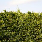 Many types of cedars can be sheared to form a hedge.