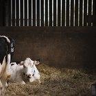 Crescimento fetal bovino