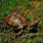 Como retirar musgo do casco de uma tartaruga