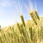 Cómo deshacerse naturalmente de los gorgojos del trigo