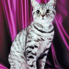 Information on Silver Tabby American Shorthair Cats