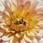 Cuándo es el mejor momento para trasplantar crisantemos