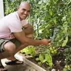 Remedio casero natural contra los insectos que atacan las plantas de tomates