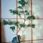 ¿Cómo cuidar un Bonsai Serissa (Árbol de las mil estrellas)?
