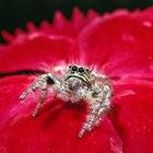 ¿Qué tipos de arañas son de color rojo y amarillo?