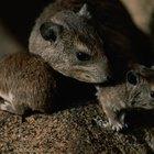 Ratos cavam buracos na terra?