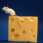 ¿Qué tan inteligente son los ratones?
