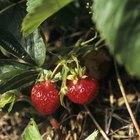 Cómo cuidar fresas en invierno