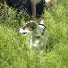 Do Jack Russells Get Anxiety Attacks?