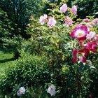 Dónde puedo comprar plantas de rosa
