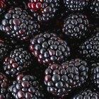 Disadvantages of Blackberries