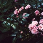 Como cultivar uma pequena roseira