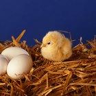 Como identificar o sexo do filhote da galinha antes do ovo chocar