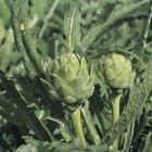 Cómo cultivar alcachofas desde semillas