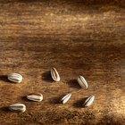 Como assar sementes de girassol