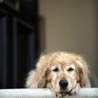 El síndrome vestibular geriátrico canino