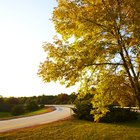 How fast do ash trees grow?