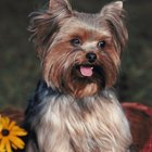 Haircut Styles for Yorkshire Terrier Dogs