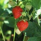 Cómo cultivar fresas a partir de semillas