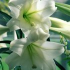 Easter lilies sold in bloom in the spring are forced to bloom early.