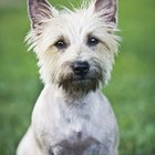 Training a Cairn Terrier to Come
