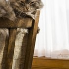 What Are the Characteristics of a Maine Coon Cat?