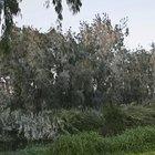 Cómo podar los árboles de eucalipto