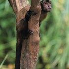 Cómo cuidar monos capuchinos