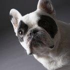 Toxemia em cães