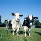 Como diferenciar o boi da vaca
