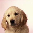 Laxantes para cachorros