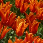 Adaptations of Tulips