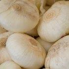 Cómo hacer germinar una cebolla