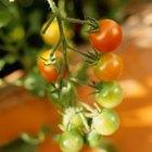 Cómo detener el gusano del fruto del tomate