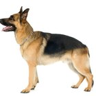 How to Strengthen Weak Pasterns in a German Shepherd Dog