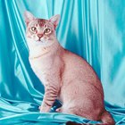 Behavior & Personality Traits of the American Shorthair Cat
