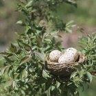 Periodos de gestación de las aves