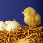 Como curar uma galinha que come os próprios ovos