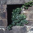 Cómo aniquilar las raíces de la hiedra que daña una pared de cemento