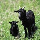 Os sinais de uma cabra dando à luz