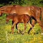 Desarrollo del embrión de un caballo